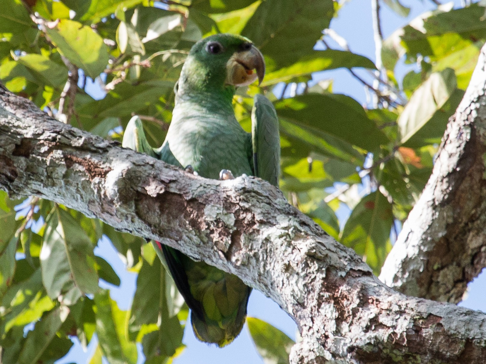 Kawall's Parrot - Bradley Davis