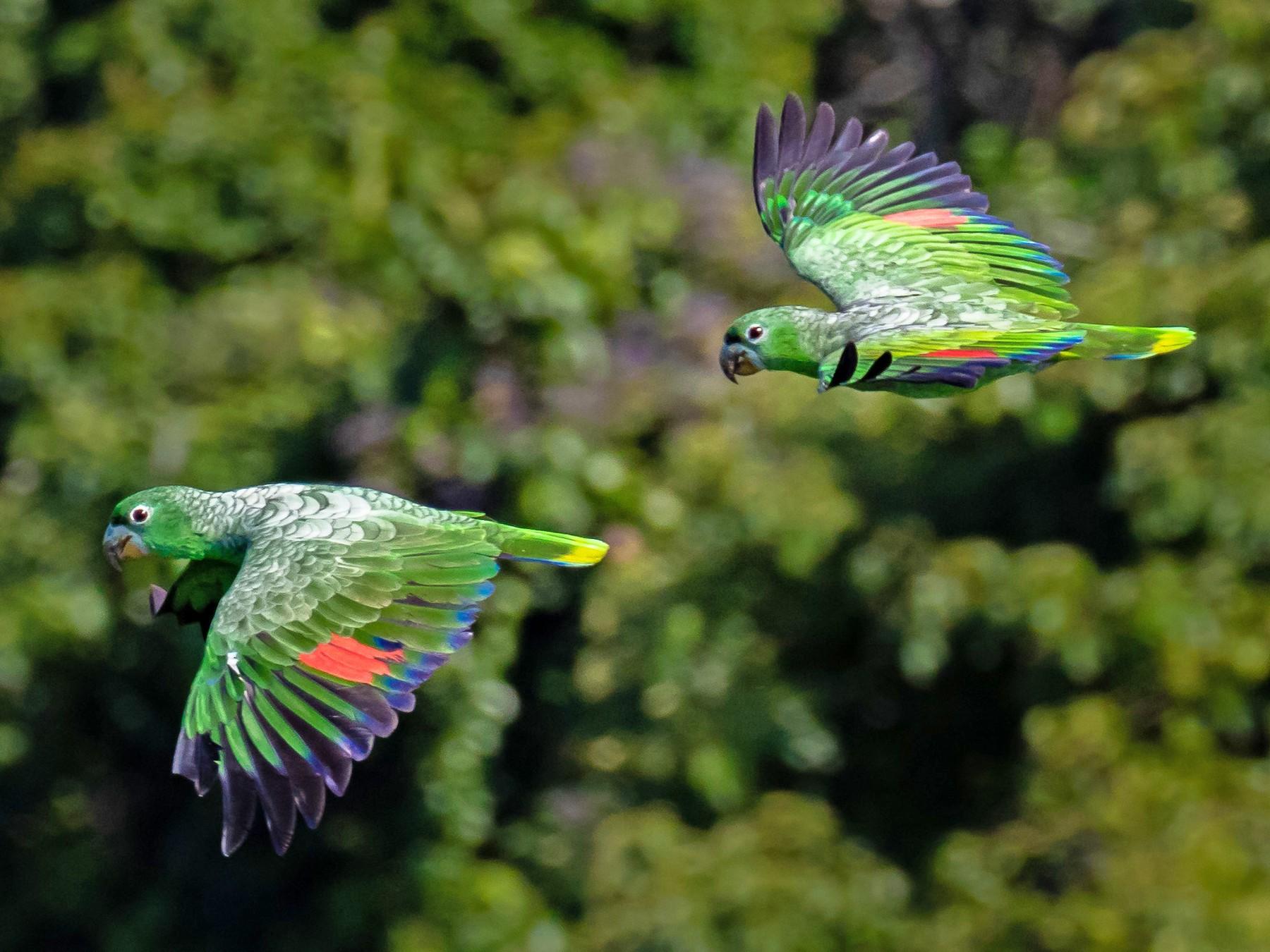 Kawall's Parrot - Kurt Hillman