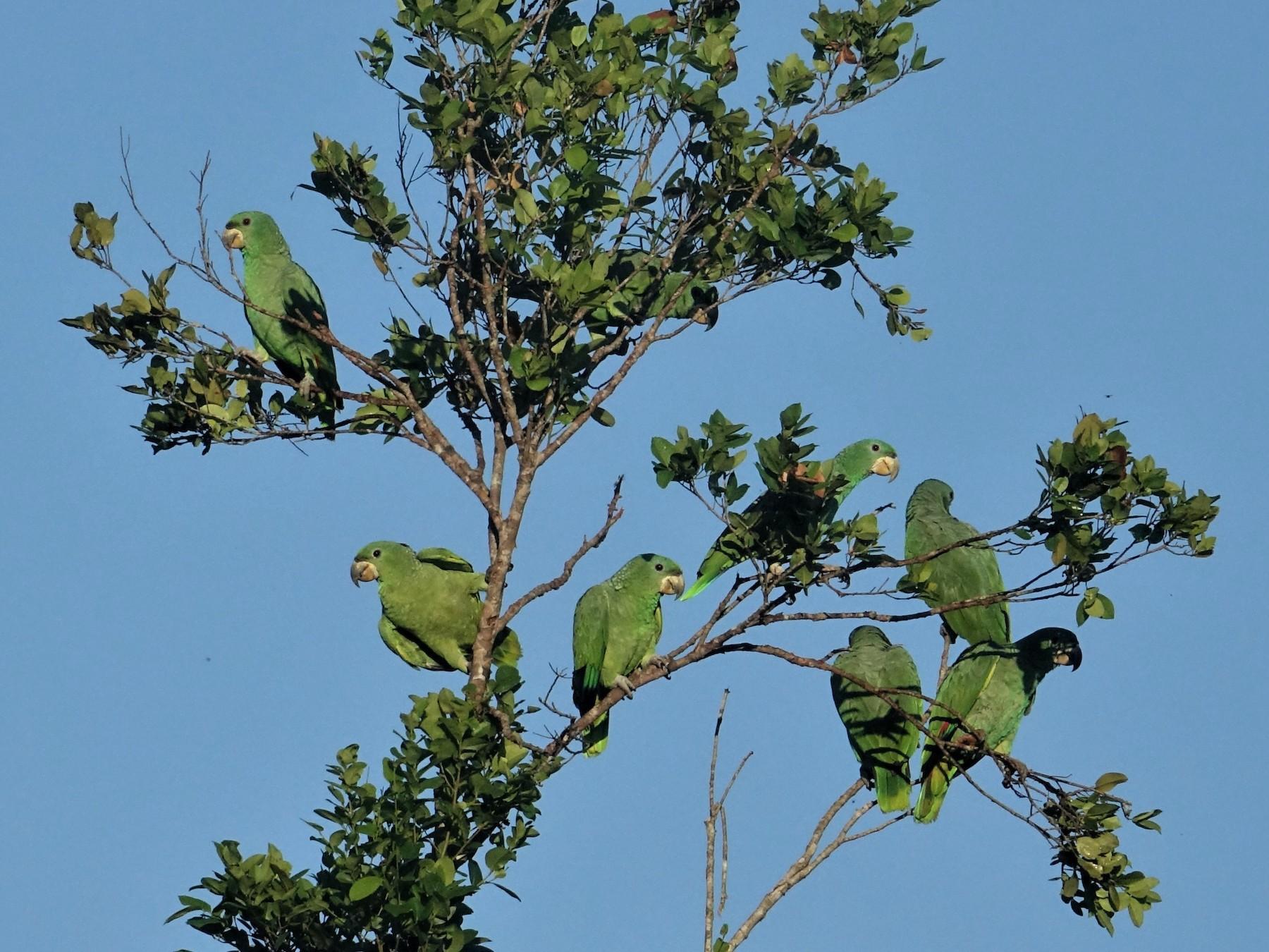 Kawall's Parrot - Ottavio Janni