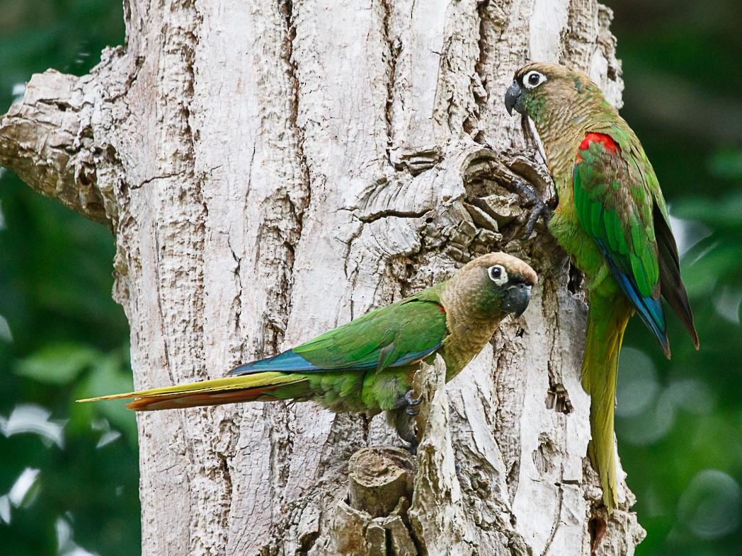 Blaze-winged Parakeet - Silvia Faustino Linhares