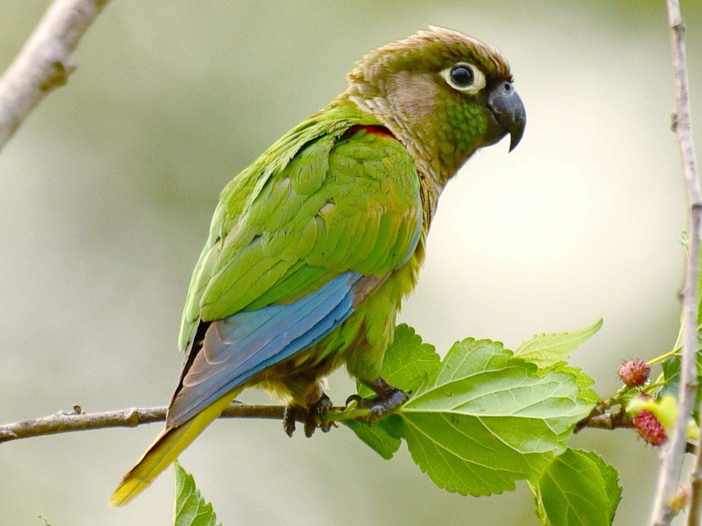 Blaze-winged Parakeet - Luiz Moschini