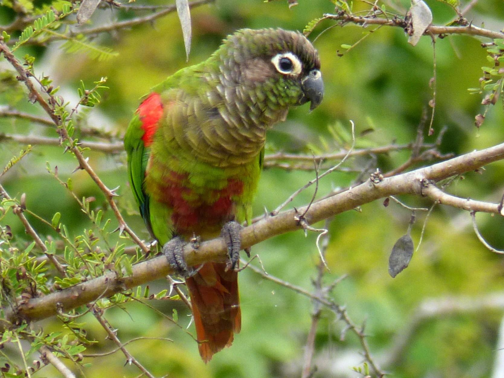 Blaze-winged Parakeet - Terry Rosenmeier