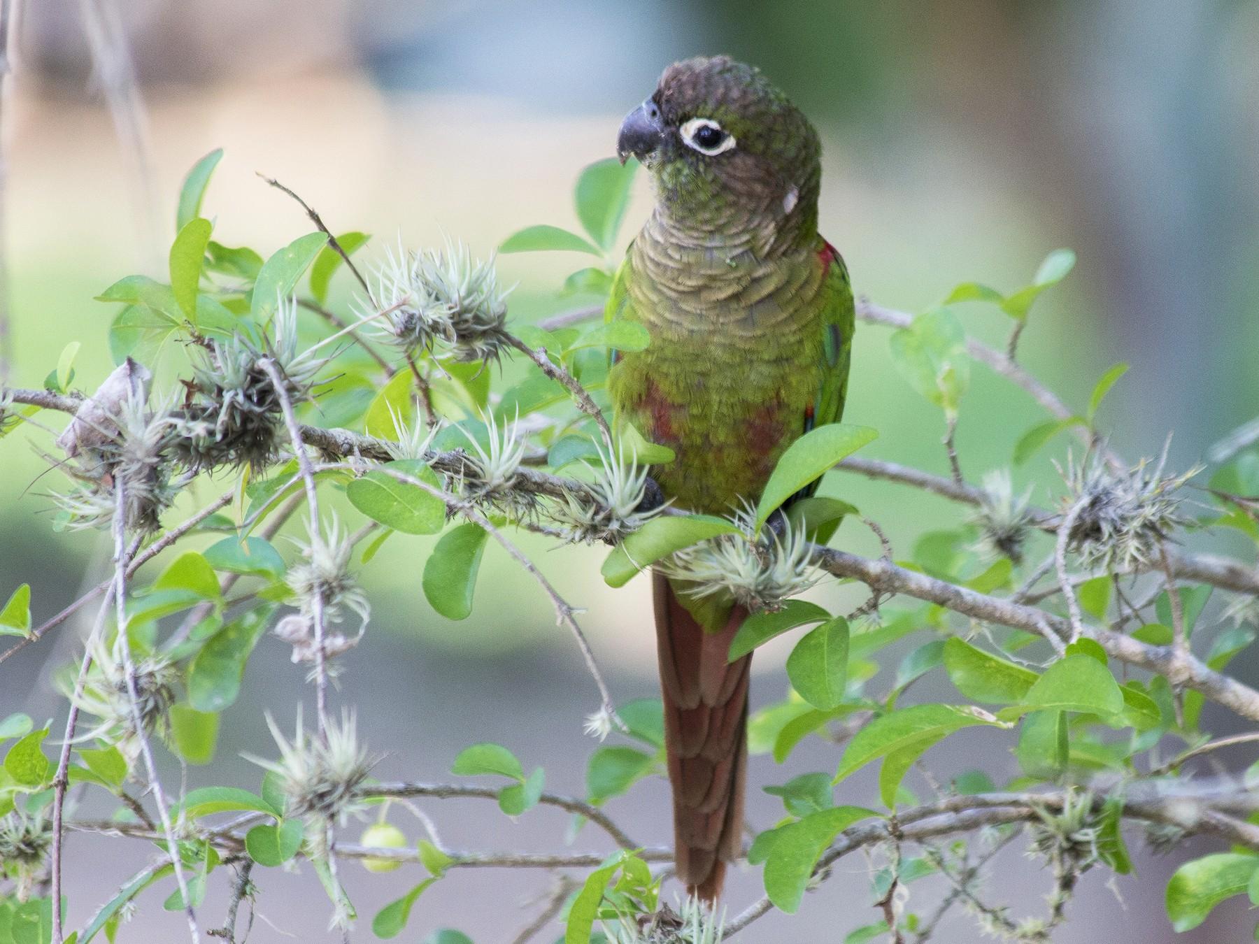 Blaze-winged Parakeet - Lorena Patrício