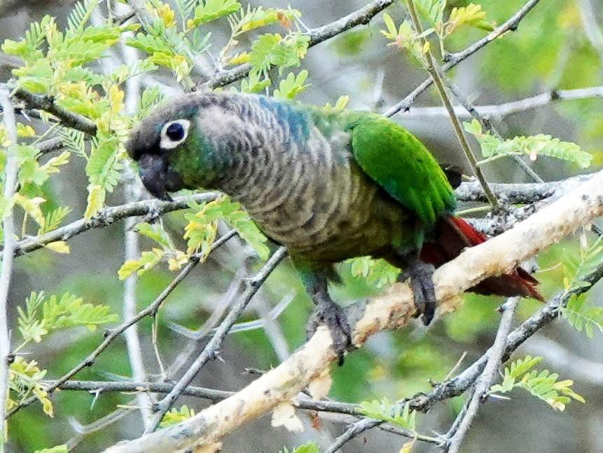 Green-cheeked Parakeet - Duston  Larsen