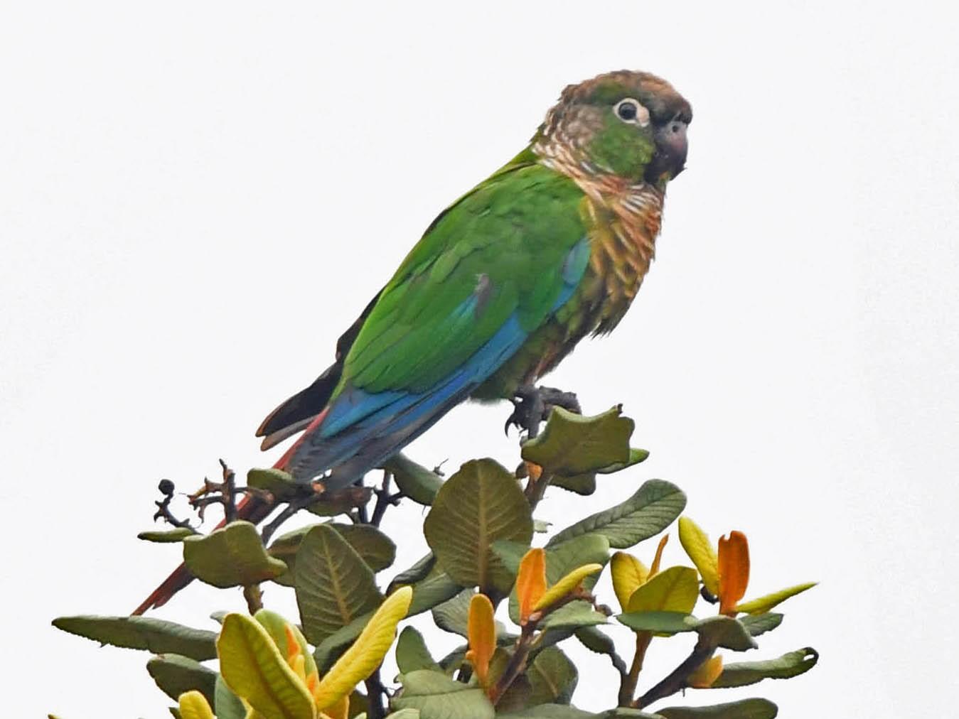 Green-cheeked Parakeet - Tini & Jacob Wijpkema