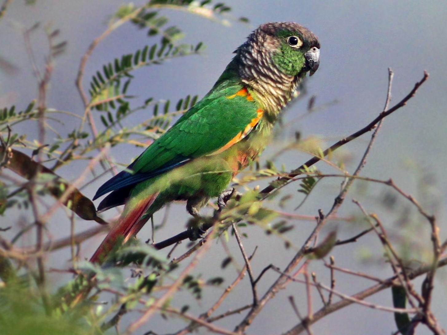 Green-cheeked Parakeet - Andrew Spencer