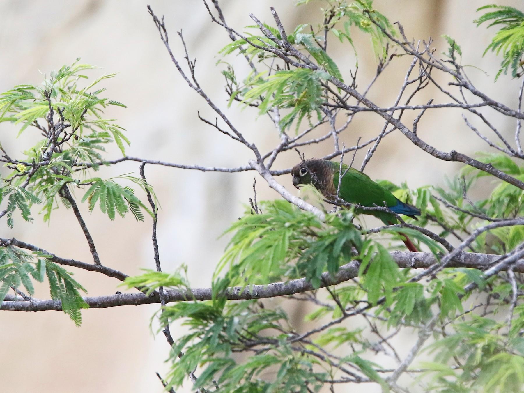 Green-cheeked Parakeet - Olivier Langrand
