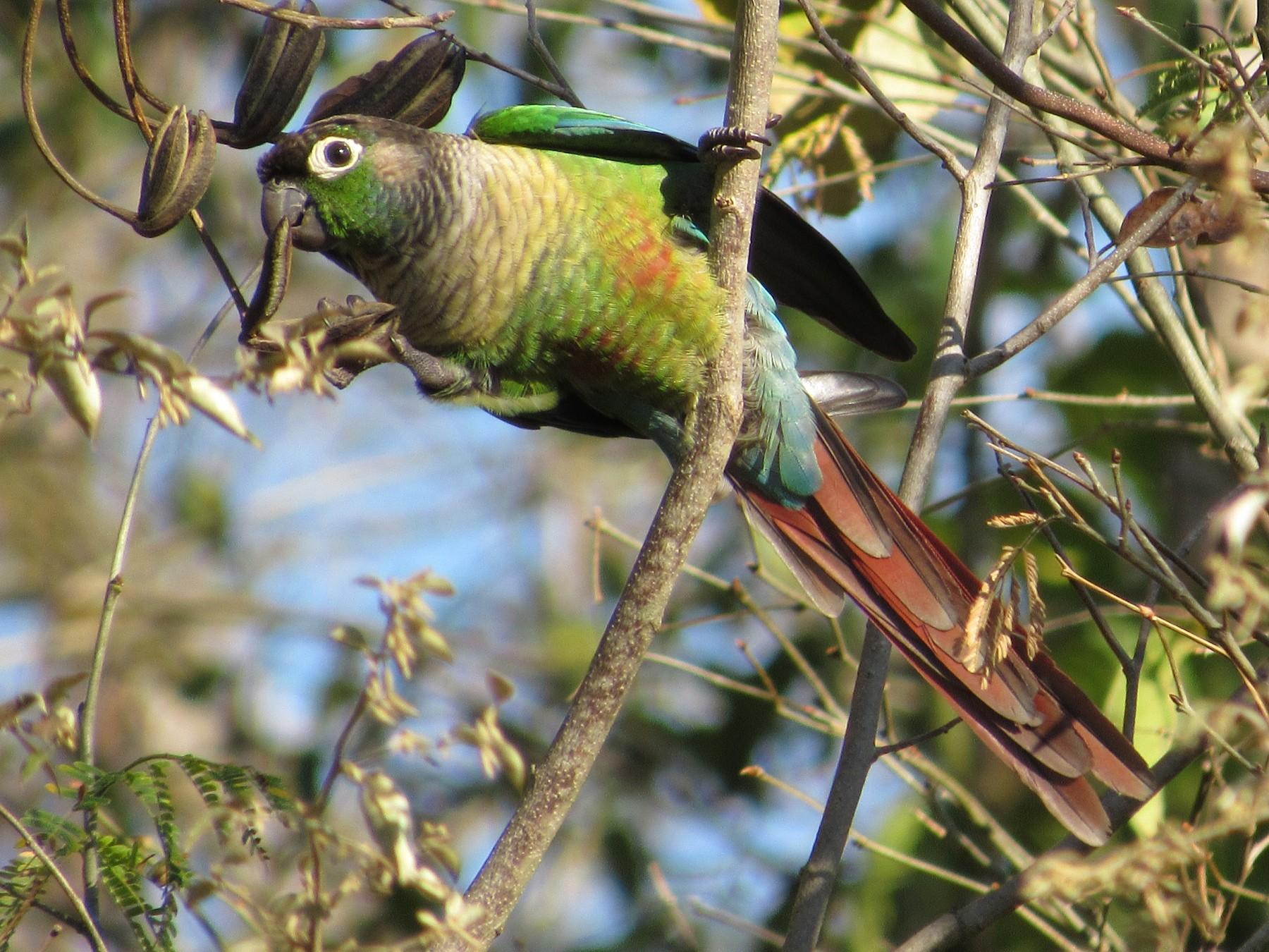 Green-cheeked Parakeet - samuel olivieri bornand