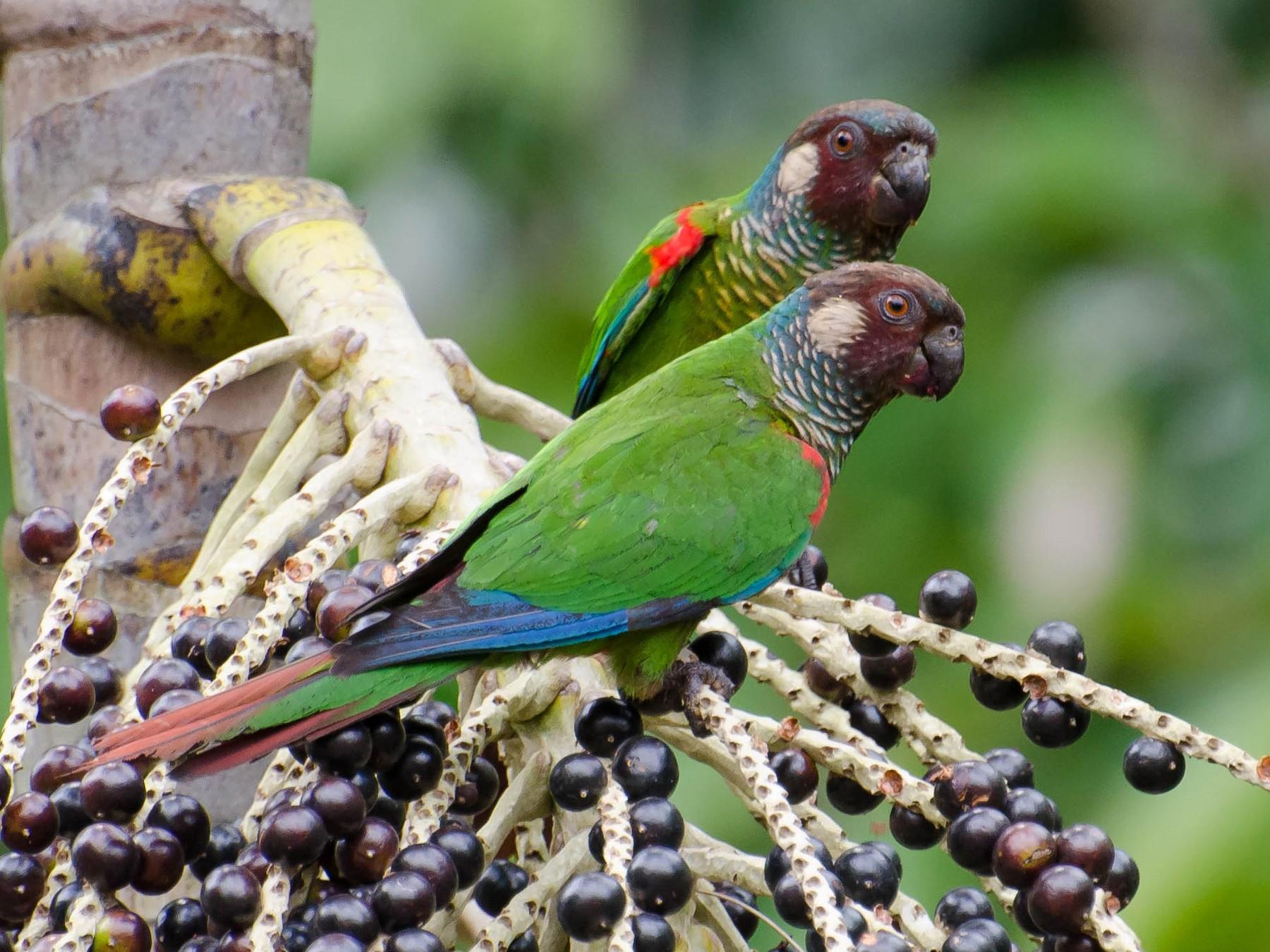 Maroon-faced Parakeet - Marcos  Eugênio Birding Guide