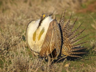 - Greater Sage-Grouse
