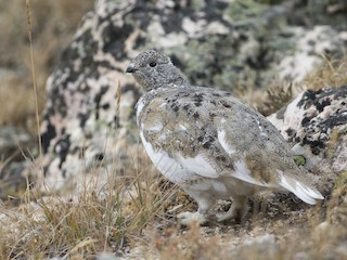 - White-tailed Ptarmigan