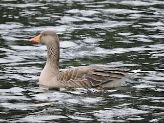 Graylag Goose, ML188546441