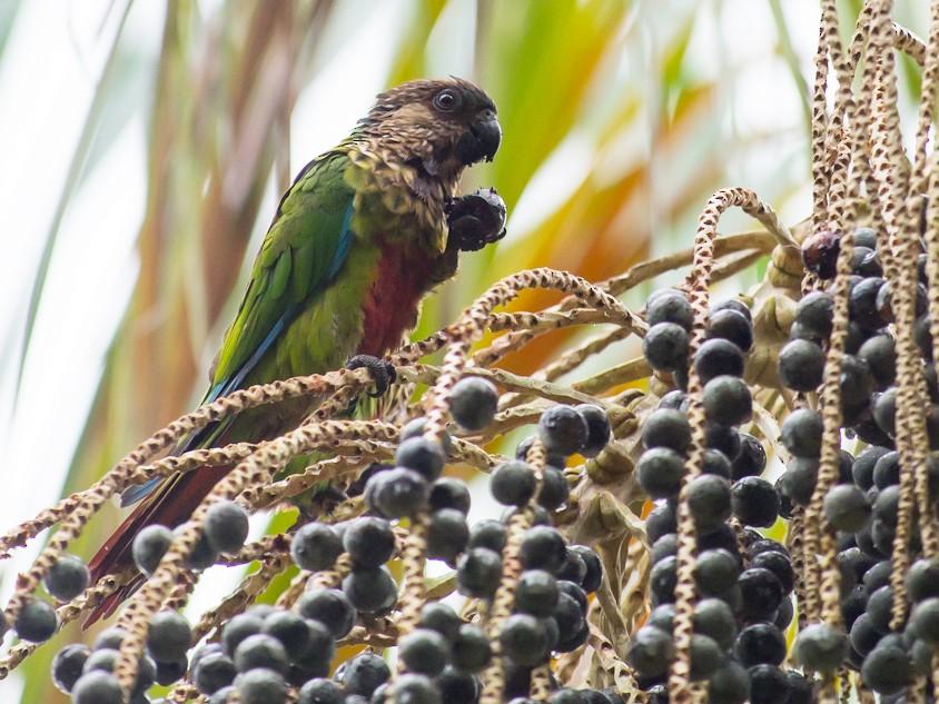 Santarem Parakeet - Joao Quental JQuental