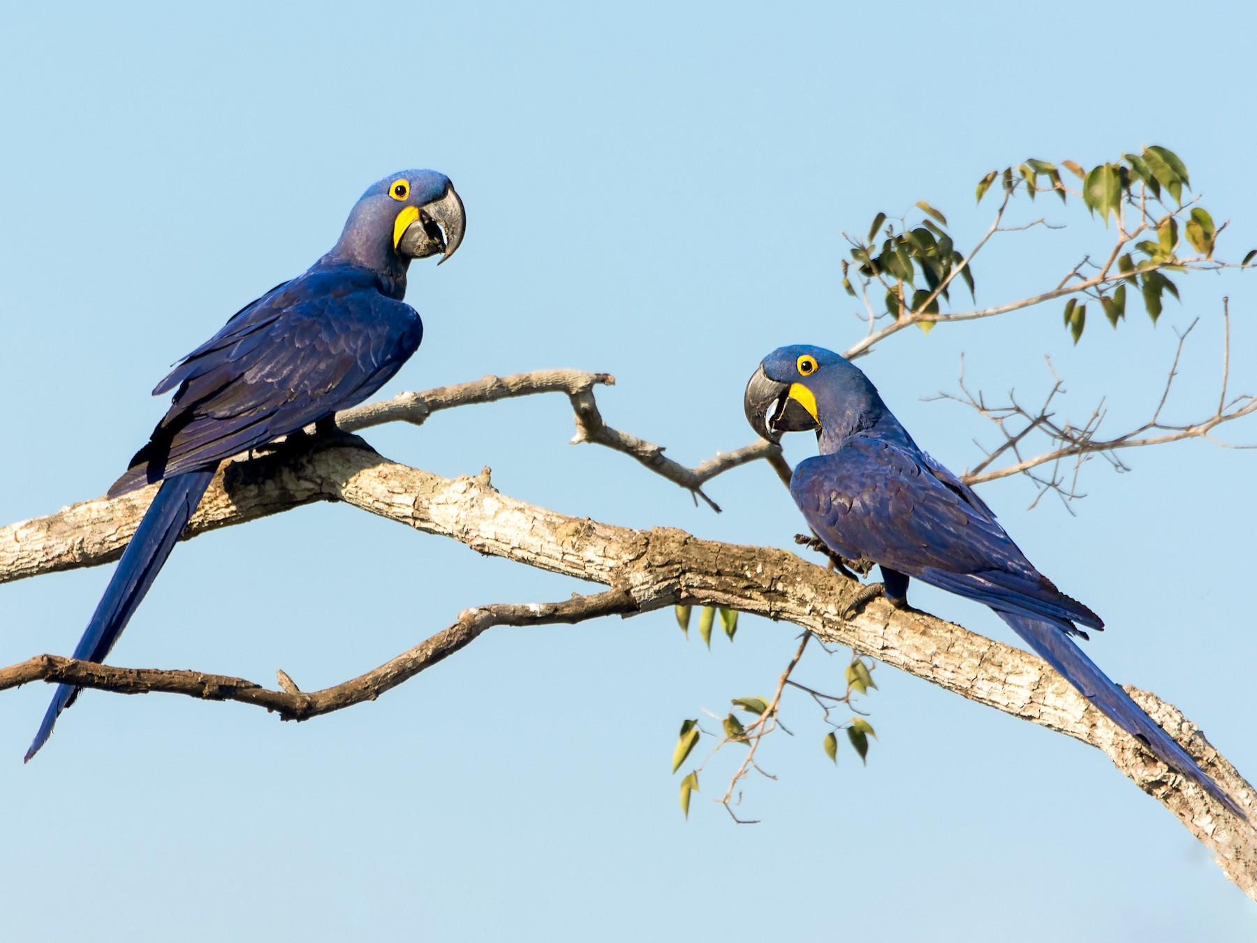 Hyacinth Macaw - George Pagos