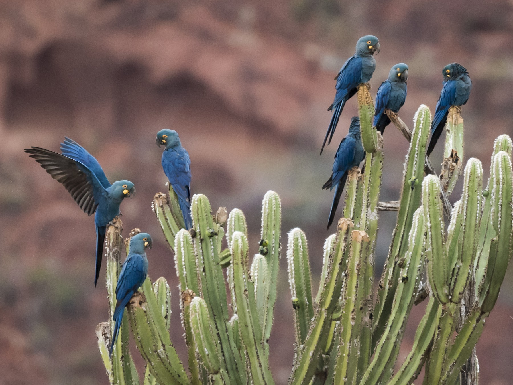 Indigo Macaw - Claudia Brasileiro