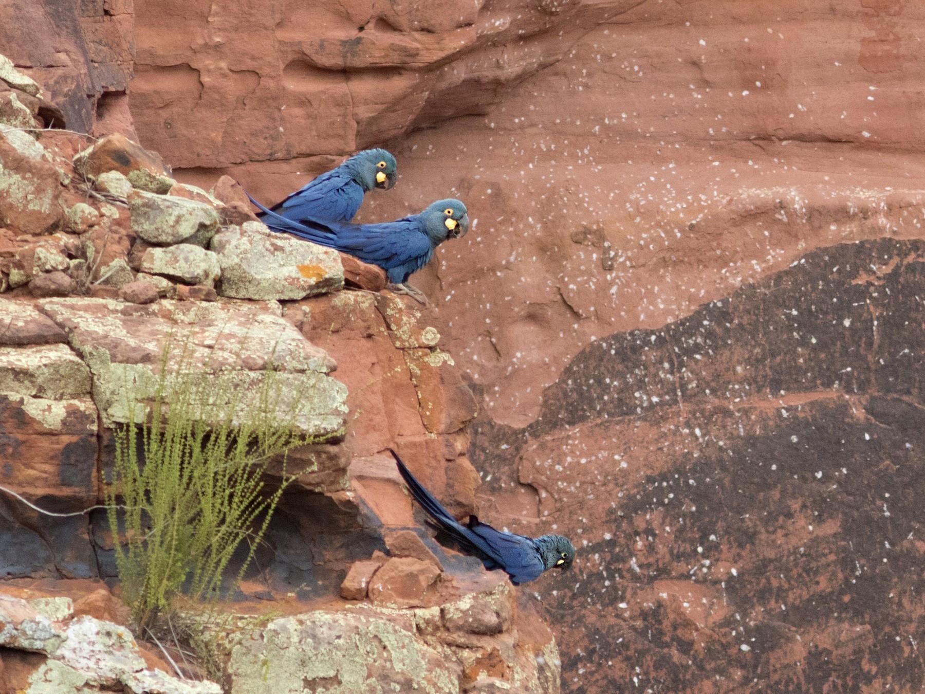 Indigo Macaw - Caio Brito