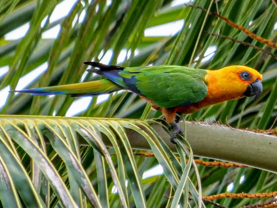 Jandaya Parakeet - Roger L. Horn