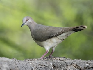 - White-tipped Dove