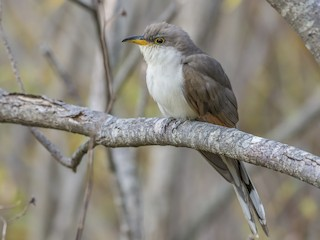 - Yellow-billed Cuckoo