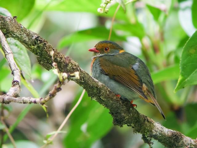 Red-banded Fruiteater