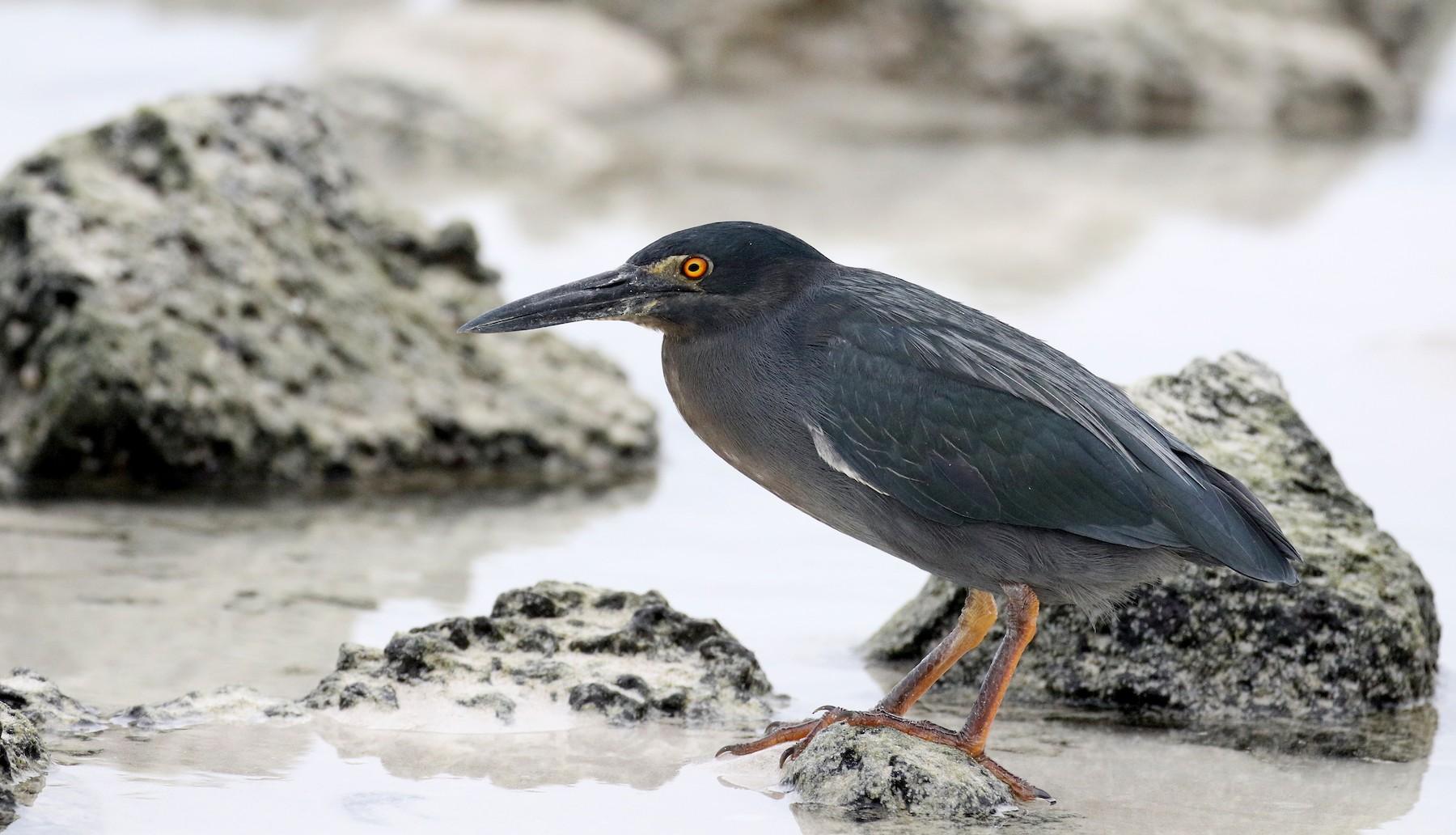 Striated Heron (Galapagos) - Jay McGowan