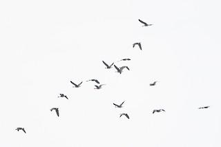 Canada Goose (occidentalis/fulva), ML188671391
