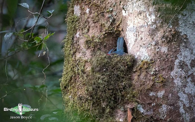 Female Nuthatch-Vanga on nest.