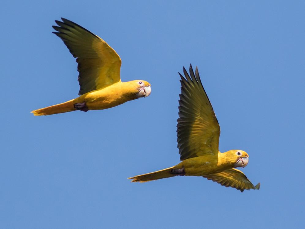 Golden Parakeet - Tom Johnson