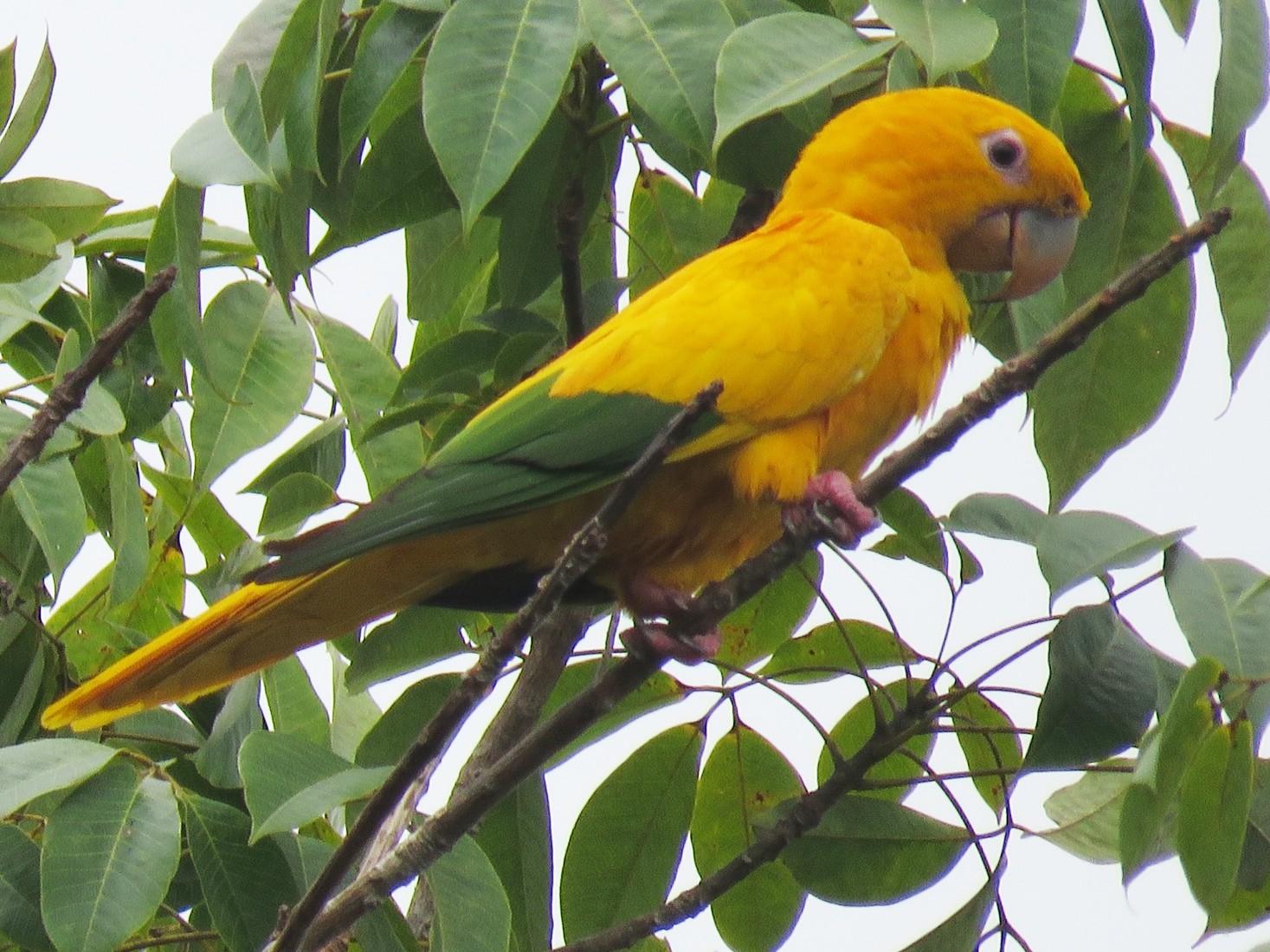 Golden Parakeet - Ian McMahon