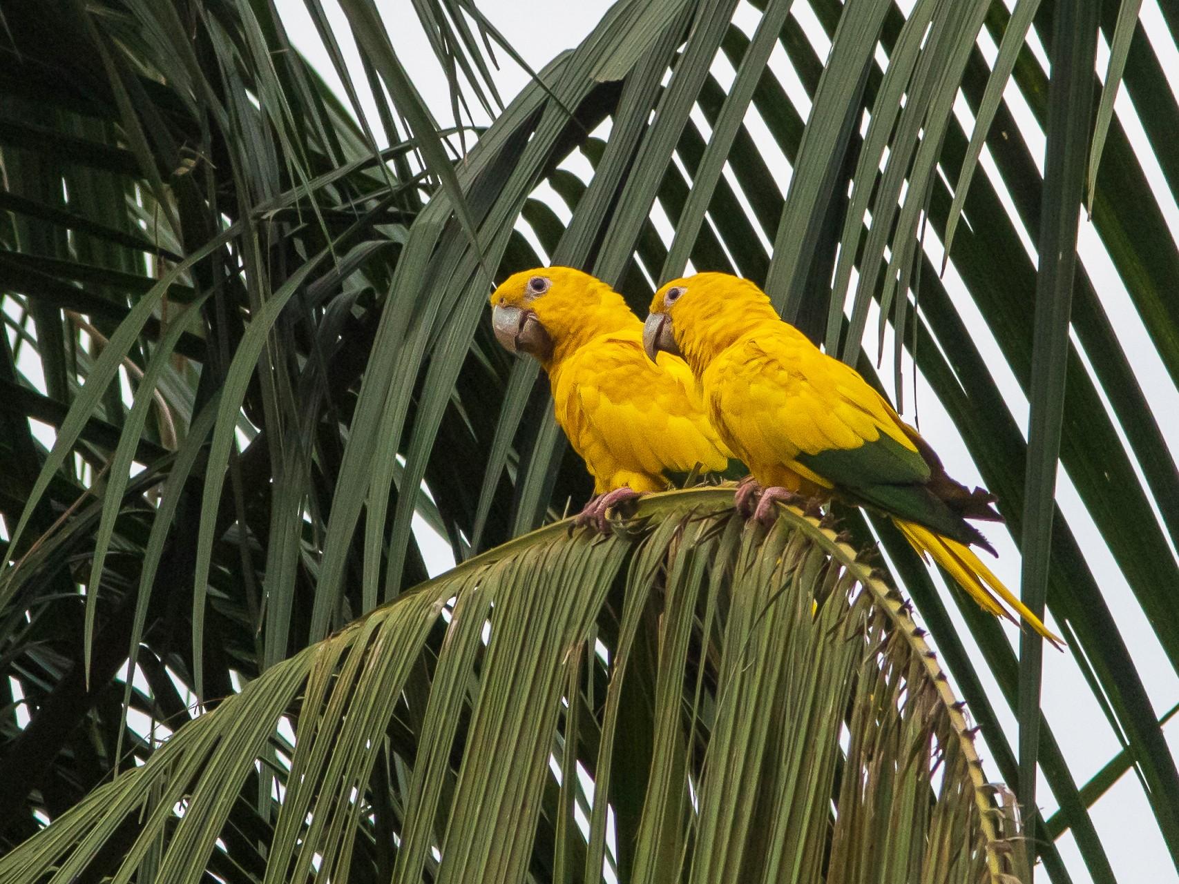 Golden Parakeet - Fernando Farias