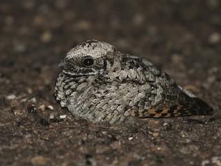 - Common Poorwill