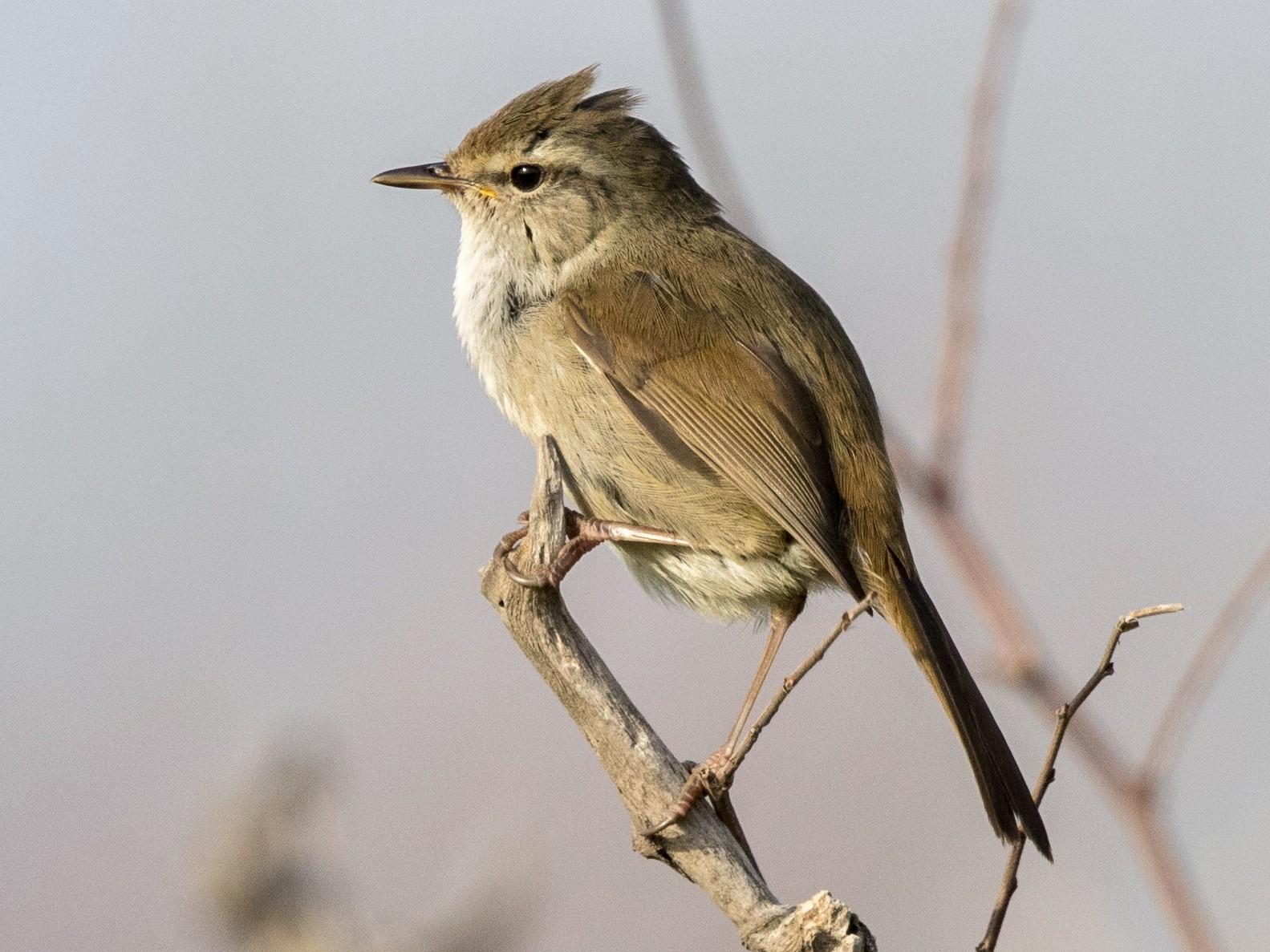 Japanese Bush Warbler - yann muzika