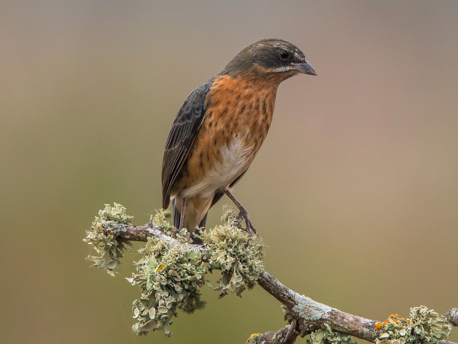 Black-and-rufous Warbling-Finch - Pablo Re