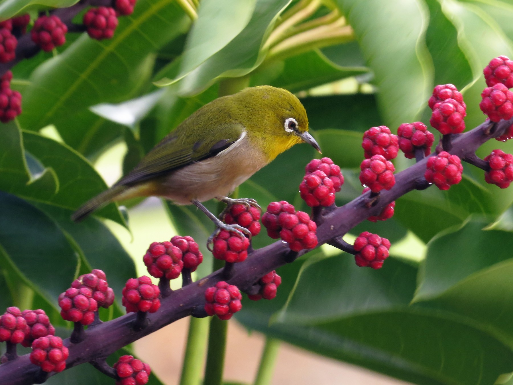 Warbling White-eye - Jon Houghton