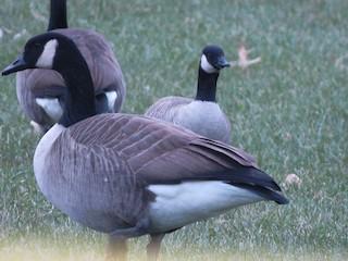Cackling Goose, ML188862621