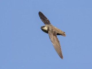 - Chimney Swift