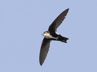 - White-throated Swift