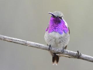 - Lucifer Hummingbird
