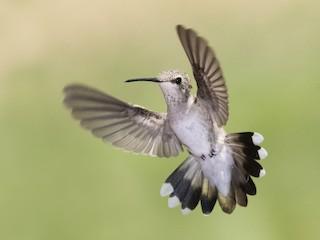 - Black-chinned Hummingbird