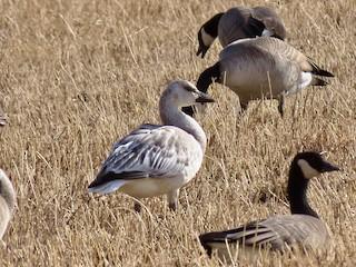 Snow Goose, ML188891901