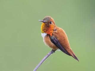 - Rufous Hummingbird