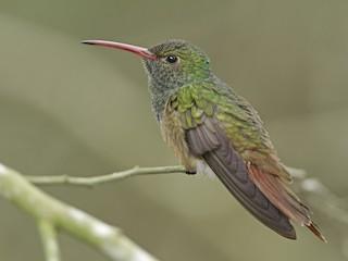 - Buff-bellied Hummingbird