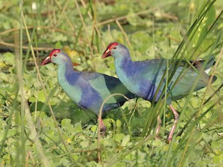 - Gray-headed Swamphen