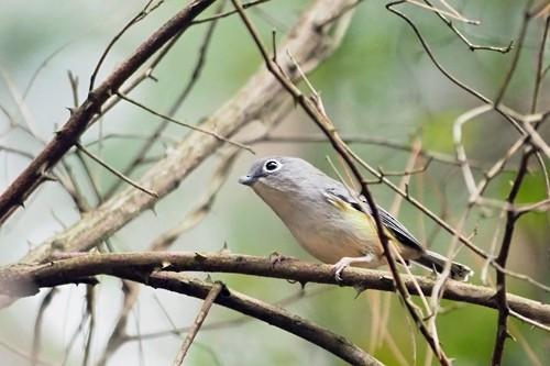 Green Shrike-Babbler
