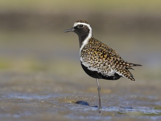- Pacific Golden-Plover