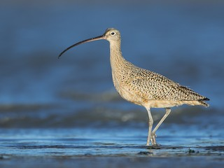 - Long-billed Curlew