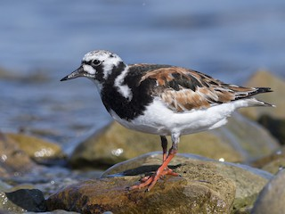 - Ruddy Turnstone