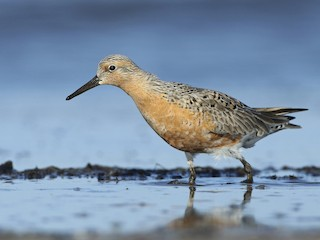 - Red Knot