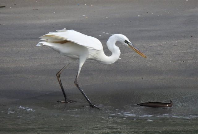 ©david gabay - Great Blue Heron (White form)