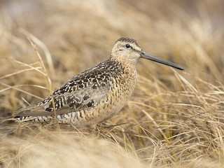 - Long-billed Dowitcher